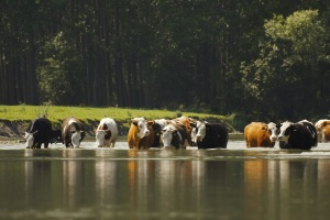 (AUDIO) Nebraska Extension Offers Updated Publication on Managing Cattle to Avoid Heat Stress