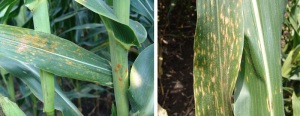 Southern Rust and Gray Leaf Spot Increasing in NE Corn