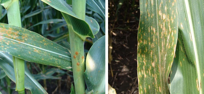 Figure 1 (Left) shows Southern Rust while Figure 2 (Right) is an example of Gray Leaf Spot.