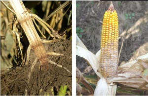 Stalk and Ear Rot Developing Early in Corn