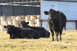 Cattle Herd Expansion Well Underway, But Beef Supplies Remain Tight