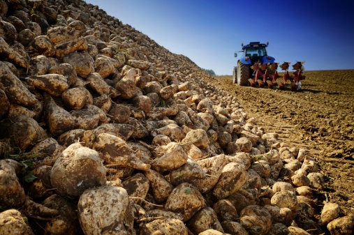 Sugar beets making a comeback as Colorado cash crops