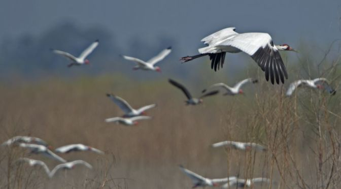 Courtesy/Associated Press. An endangered Whooping Crane flies through a flock of White Ibis at the Paynes Prairie Wildlife Refuge near Gainesville, Fla., Friday, March 15, 2013