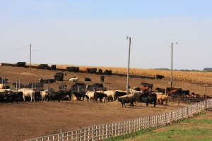 Sept 21 Cattle on Feed - State Break-down