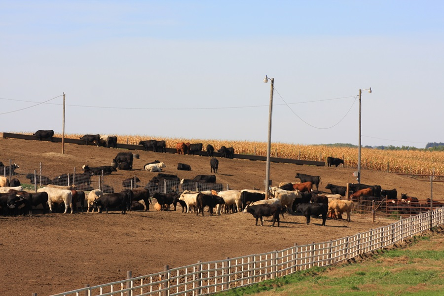 United States Cattle on Feed Up Slightly, Placements Down