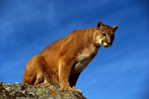 mountain lion spotted near sumner