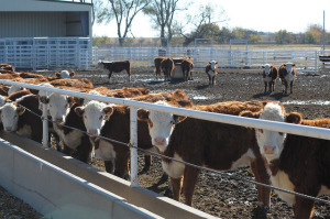 Producers Focus on Replacement Heifer Selection