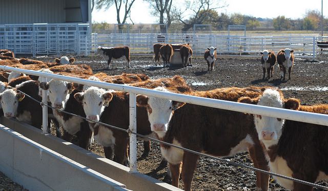 Genetic maternal traits, birthdate, mature size and a fit with the environment are all factors cattle producers need to consider when retaining replacement heifers.