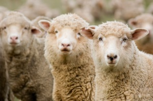 Missouri teacher shares love of sheep with students
