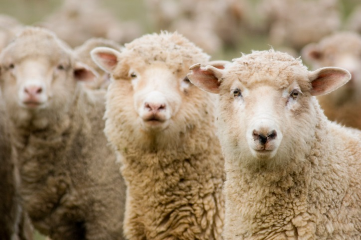 Japan Will Resume Sheep and Goat Imports from U.S.
