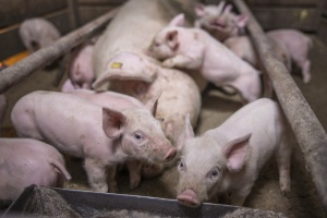 China reports new African swine fever outbreak in Inner Mongolia