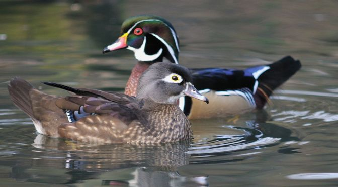 Courtesy/ Rowe Sanctuary. Pair of Wood Ducks.