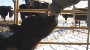 (AUDIO) USDA Offers Help for Blizzard Stricken Ranchers