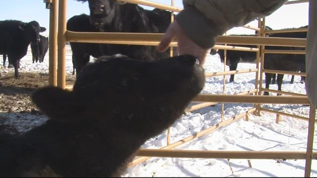 A  baby calf is greeted by Janel Laub of Grand Island after a blizzard that dumped 18 inches of snow with 45 mph winds last week. (Courtesy of nebraska.tv)