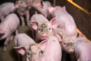 China finds second African swine fever case at WH Group plant