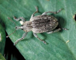 Weather's Effect on Controlling the Alfalfa Weevil