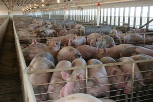 United States Hog Inventory Up 2 Percent , NE Up 9, IA Up 7 and KS Up 2