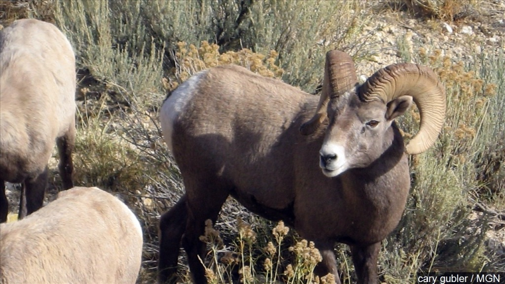 Bighorn sheep lottery applications begin April 15