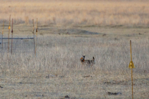 Wildlife advocates push protections for prairie birds
