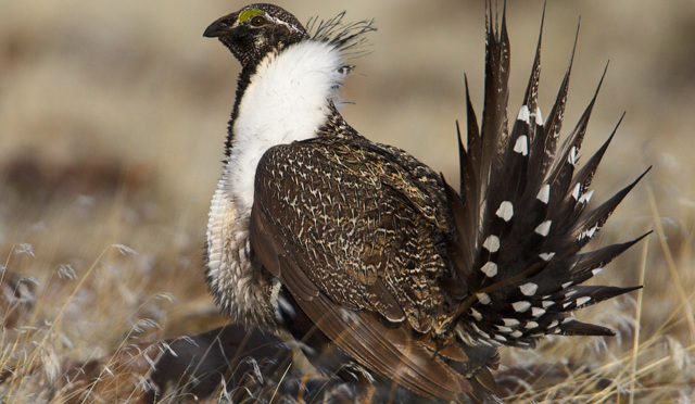Dan Ashe, director of the U.S. Fish and Wildlife Service, pointed to the successes of public-private partnerships in protecting the sage grouse as a sign of the changing times when it comes to the Endangered Species Act. (Photo by USFWS Pacific Southwest Region, Creative Commons License)