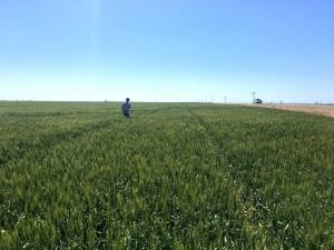 Nebraska Wheat Crop Report for May 6