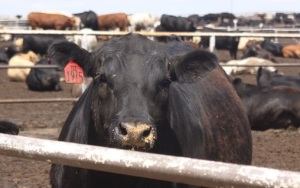 Cattle on Feed Report *AUDIO*