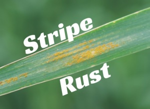 Stripe Rust Found in Eastern Colorado