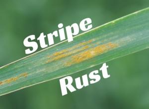 Stripe Rust Found in Eastern Colorado