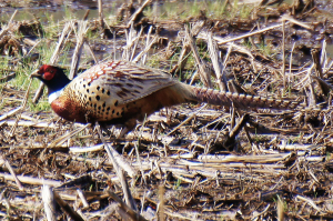 Game and Parks to release pheasants at 14 WMAs before Thanksgiving