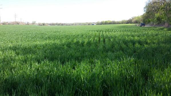 Eastern Kansas Wheat Crop