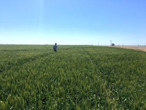 Wheat Tour Participants to Scout for Rust and Viruses