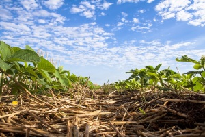 Soybean, Spring Wheat Conditions Drop