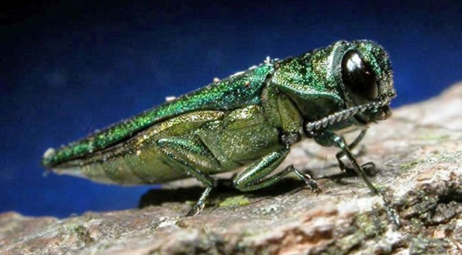 Emerald Ash Borer.  (Minnesota Department of Natural Resources via AP, File)