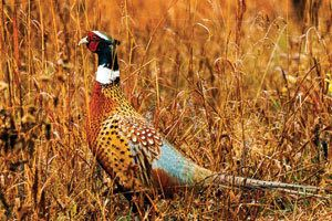 Courtesy/ Nebraska Game and Parks Commission.  Pheasant.