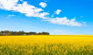 China says Canadian canola will face stricter assessments