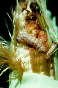 High Caterpillar Populations in Corn, Soybeans and Cotton