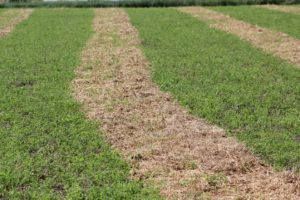 Annual Forages and Windrow Grazing as an Alternative to Cash Grain Crops