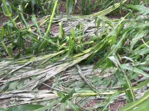 (AUDIO) Spring Weather Brought Crop Damage And So Could Summer Heat
