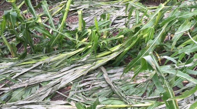Hail damaged corn taken south of Stapleton, Neb. Photo Courtesy of Casey Cooksley.