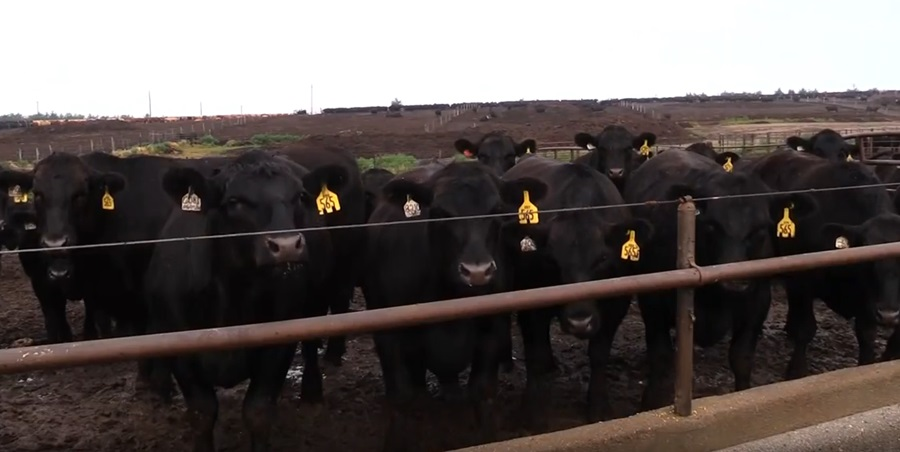 (VIDEO) Cattle Health Adds To Quality Genetics