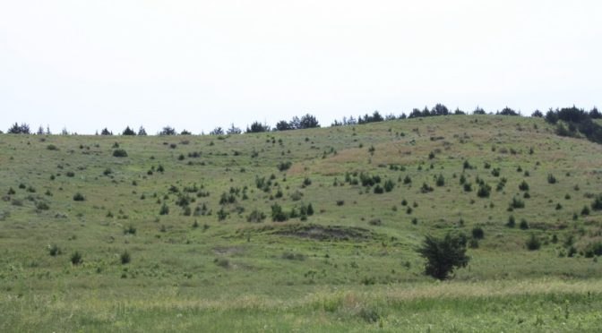 Cedar trees invade grasslands from a windbreak in the Loess Canyons ecoregion. A new report suggests that the expansion of eastern redcedar into grasslands reduces grazing capacity. Dirac Twidwell | UNL