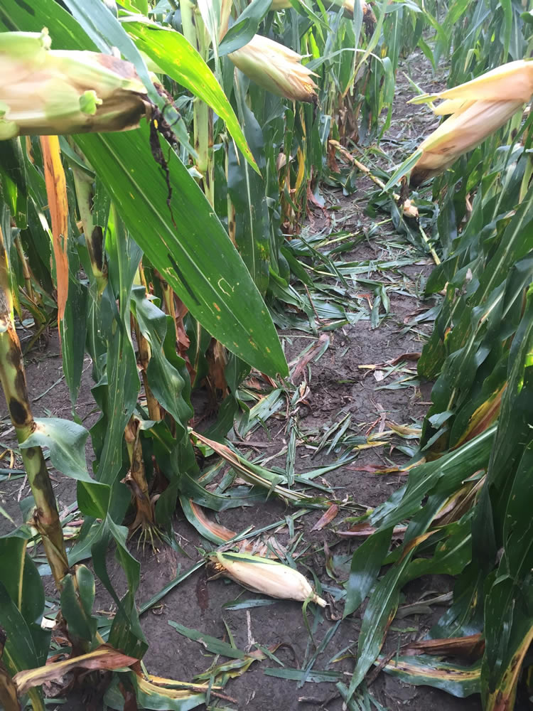 Wind damage from the night of August 23, in Pott Co., Ia. Photo by Chip Flory, ro Farmer editorial director and lead guide.