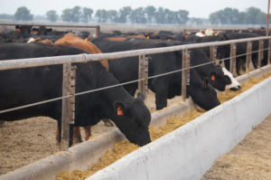 Nebraska Cattle on Feed up 8 Percent