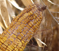 Mycotoxin Problems- Early Samples on 2016 Corn Crop Concerning