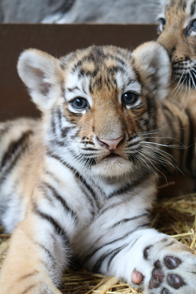 Amur Tiger Cubs are named following visitor naming contest