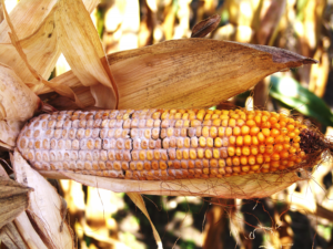 Scouting for Stalk and Ear Rot Diseases