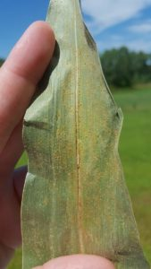 Southern Rust of Corn Confirmed in Nebraska