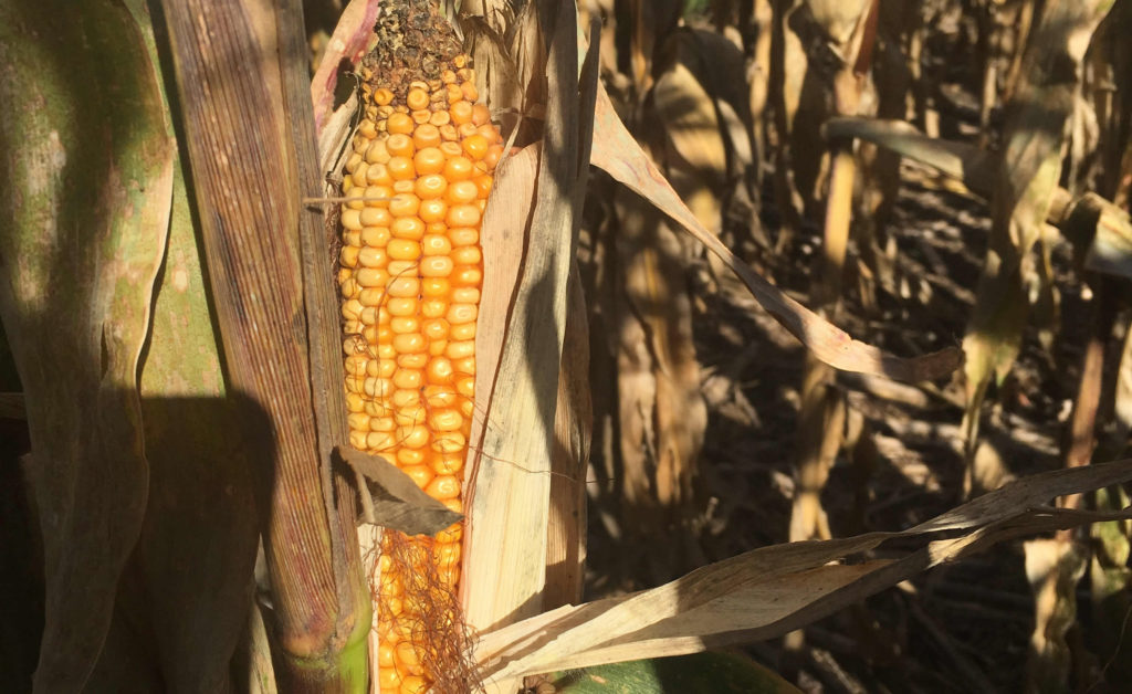 USGC Rolls Out 2017/2018 Corn Harvest Quality Report