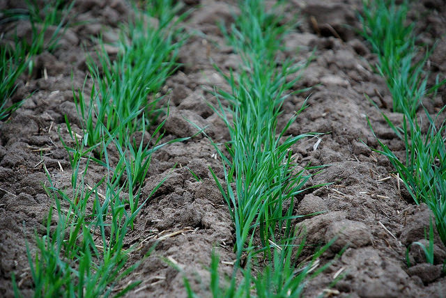 Starter Fertilizers for Wheat Can Pay if Used Correctly