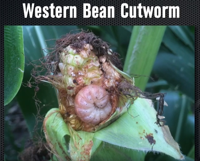(VIDEO) Challenges with the Cry1F Trait on Cutworms
